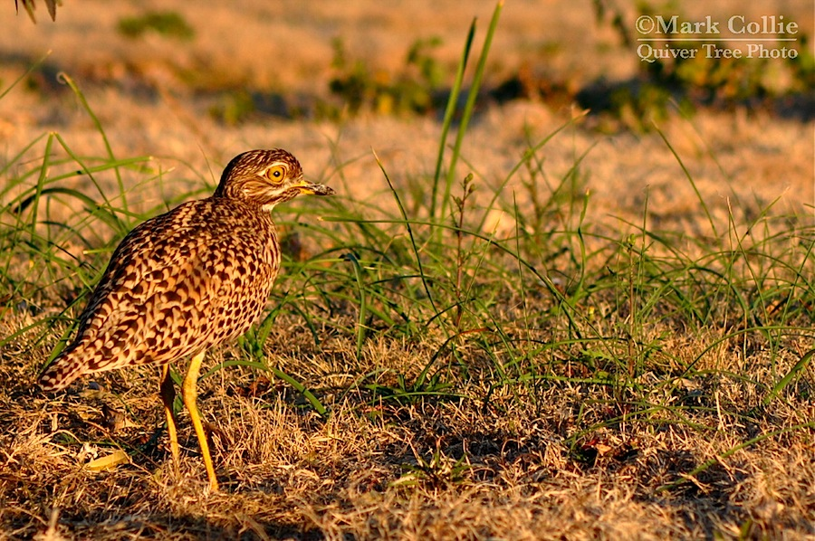 Wild Wednesday: Spotted Thick-Knee!