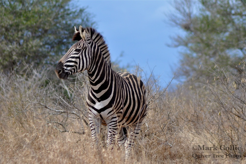 Zebra Storm