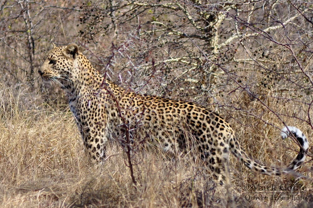 First Prize! Leopard in the Wild!
